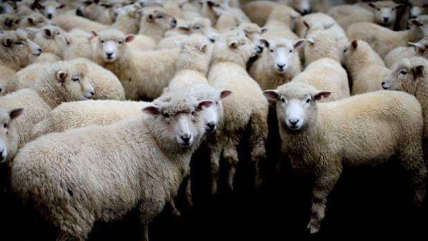 Silver Fern Farms will not be exporting lamb to Iran until next season at the earliest.