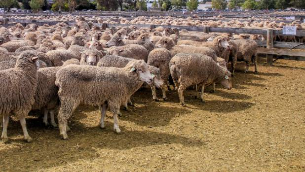Prime ewes attracted higher bidding.