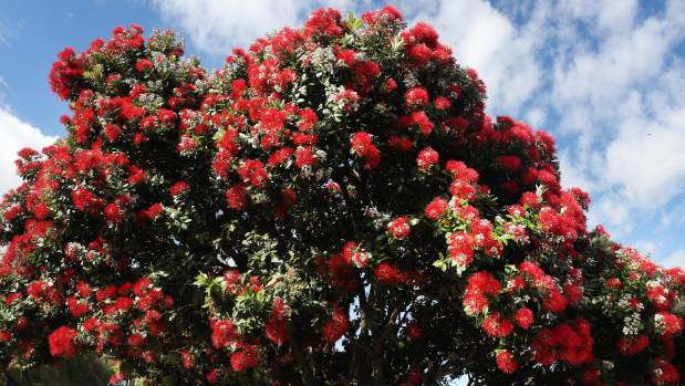 Pohutukawa could be at threat from myrtle rust.