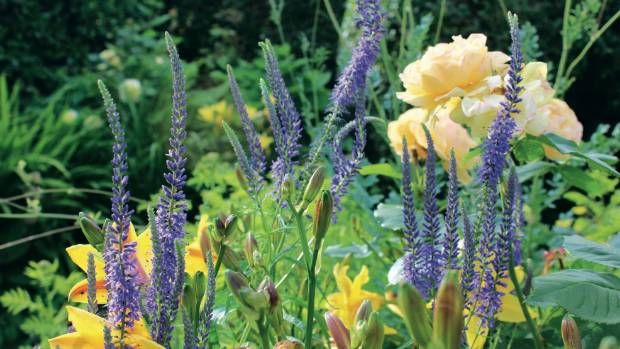 Blue and yellow flowers are a classic colour combination stuff a perennial type of veronica veronica longifolia boasts alluring spikes of flowers that are so mightylinksfo