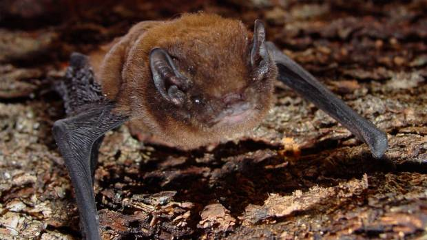 The long-tailed bat is one of two remaining native kiwi bats.