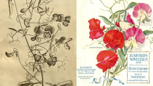 From left: Caspar Commelin's sweet pea illustration; A 20th-century catalogue by sweet pea specialist Henry Eckford