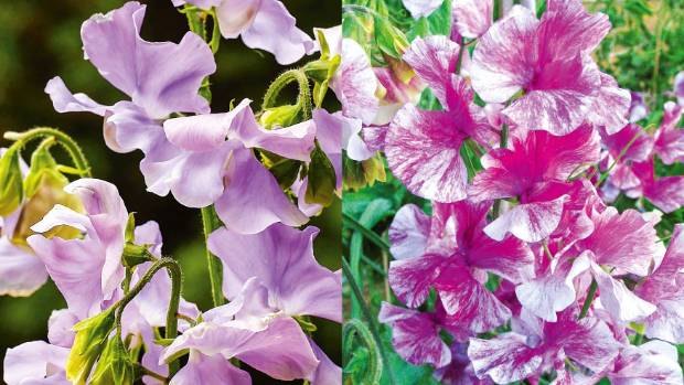 From left: 'Chelsea Centenary'; Flaked sweet pea  'Pandemonium'