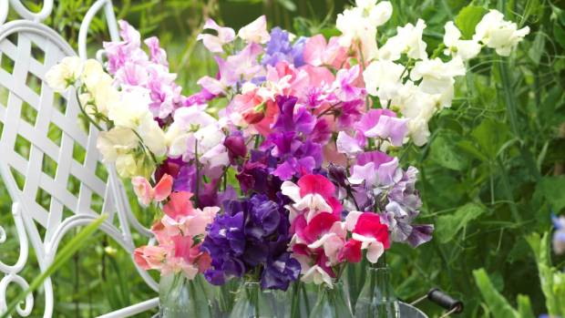 A collection of fragrant sweet pea flowers.