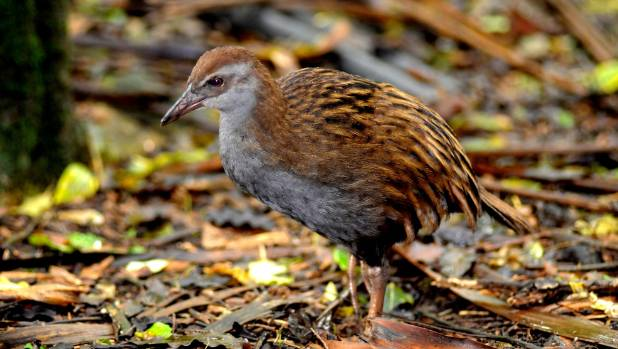 North Island weka was once widespread, but now only natural population exists in the hills between Opotiki and Motu.