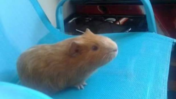 Police Investigate Horrific Guinea Pig Slaughter In West