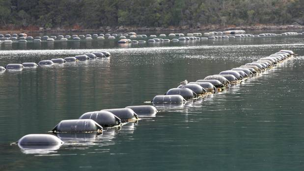 A mussel farm at Kenepuru Sound, in the Marlborough Sounds. (File photo)