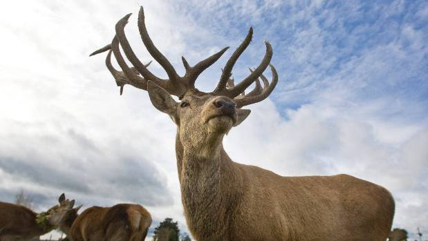 Stags commonly fight at this time of year, during mating season (file photo)