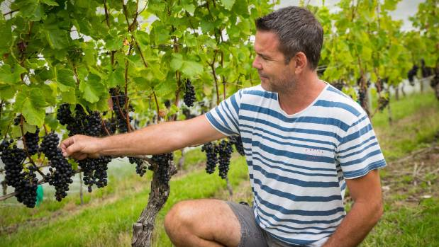 Mike Wood inspects the quality of the grapes before harvest.
