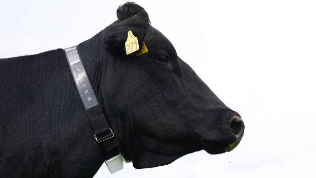 The Halter cow collar could mean the end of fences on dairy farms.