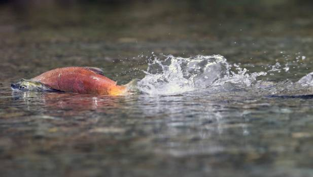 The rare sockeye salmon has been spotted spawning near Twizel.
