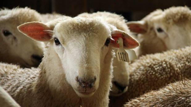There are 900 recorded ram hoggets wintered on Ngaputahi Station