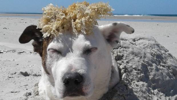 """""""I think we found Donald Trump's dog."""" This is Nayla by Leah Beaumont from Sunnynook."""