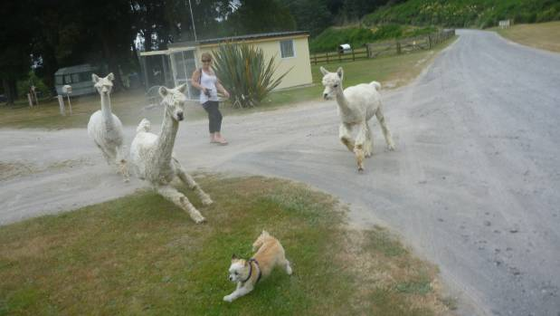 Lap-dog Badger is chased by free-roaming alpacas in Taupo. By Dave Lewis of Birkenhead.