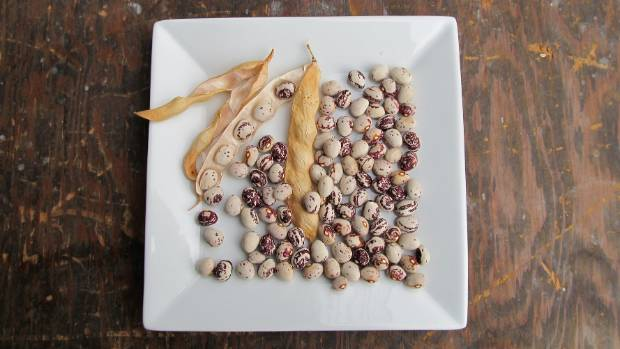 'Good Mother Stallard' heritage climbing beans from the Midwestern United States.
