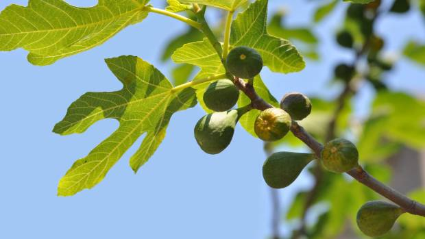 Delicious fruit and striking foliage: growing a fig tree is well worth the effort.
