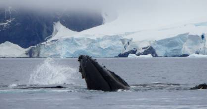 A whale breaches in icy waters around Antarctica.