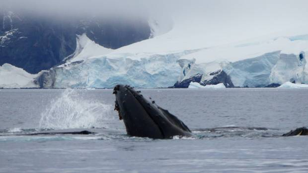 A whale breaches close to Tracy Hickman's boat as she tours around Antarctica.