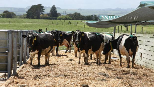 Dairy cows at the Westpac Taranaki Agricultural Research Station.