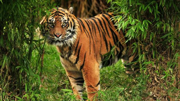 calvin klein cologne could be used to capture killer tiger in india