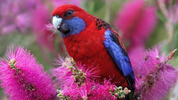 Rosella, a colourful Australian import, is a common sight at the Manawatū Golf Club.