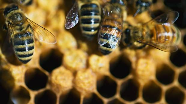 Bees have become big business due to the popularity of manuka honey.