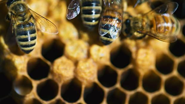 The theory is that consuming honey produced by local bees will ease symptoms of hay fever and seasonal asthma as the ...