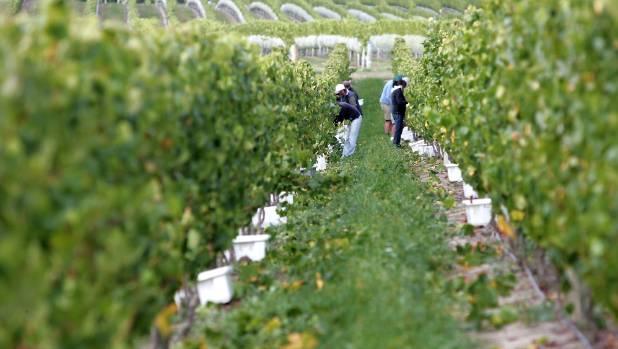 Dog Point Vineyard workers harvest chardonnay.