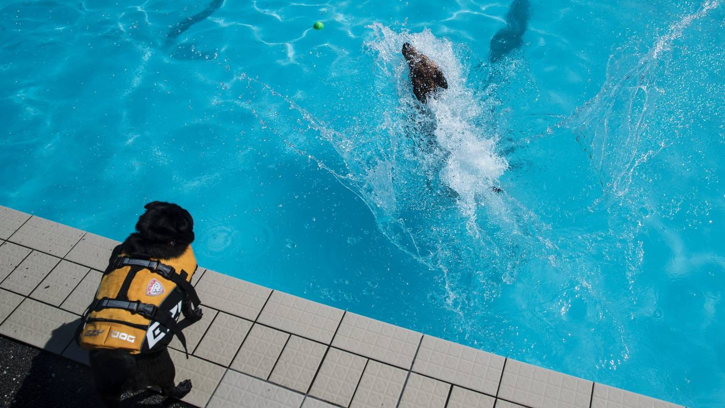 Pups Enjoy Off Leash Access To Auckland Swimming Pool