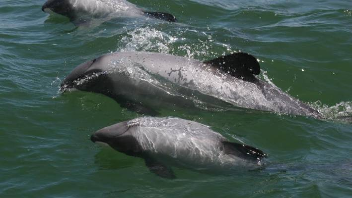 Maui's Dolphins are native in New Zealand, yet there are only 55 left.