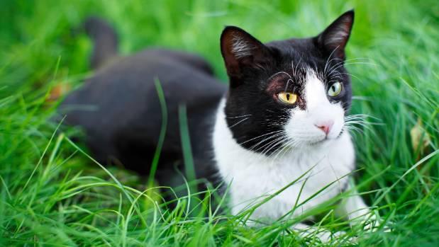 My Cat Has Black Stuff In Her Ears