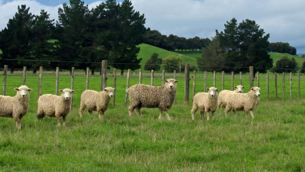 Some of Kowhai's lincoln ewe hoggets running with the complete teaser ram.