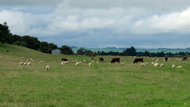 Mature bulls being finished alongside lincoln ewe hoggets in Central Hawke's Bay.
