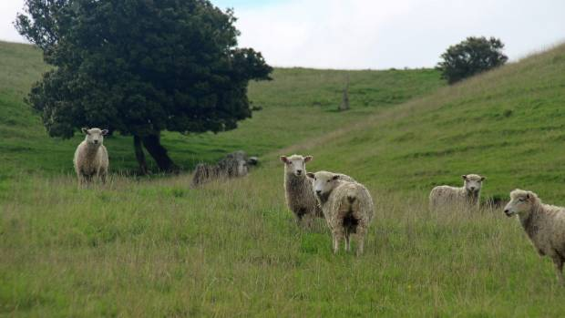 Lincoln ewe hoggets on Patrick Worsnop's farm at Tikokino.