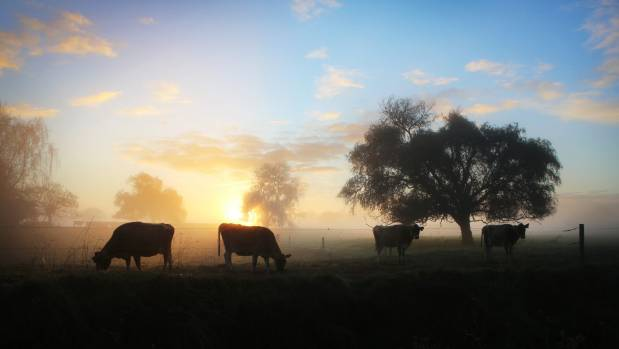 Dairy cows near Whitikatu as the sun rises on a misty Waikato morning.