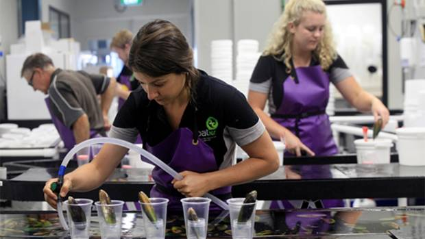 SPATNZ staff Sarah Cumming and Hannah Coote spawning greenshell mussels at the SPATNZ hatchery in Nelson.