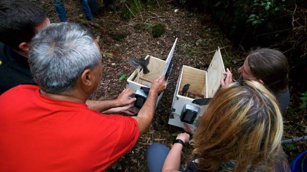 On Sunday, volunteers released 36 North Island robin or toutouwai on Mt Taranaki.