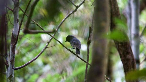 The return of the North Island robin to the region is part of the Taranaki Mounga project.