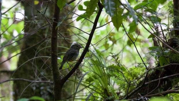One of the 36 North Island robin re-located to Mt Taranaki on Sunday.