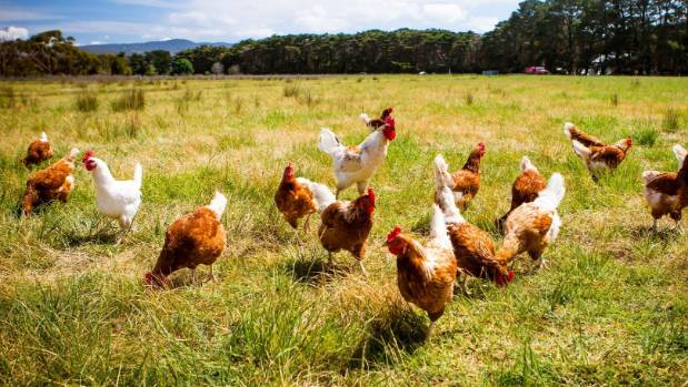 Keeping egg laying chickens is more poplar on lifestyle blocks.