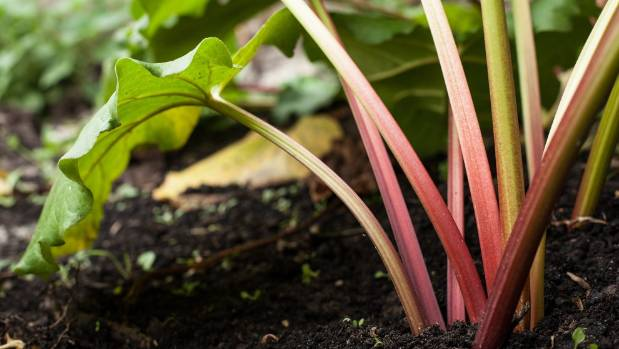 "Rhubarb is known as a ""greedy feeder"" so add plenty of well-rotted manure or fertiliser when planting."