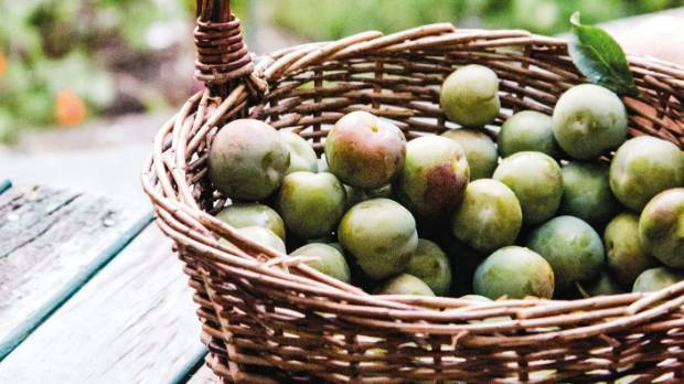 The greengage harvest.