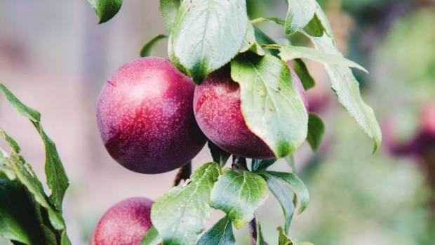 'Omega' plums.
