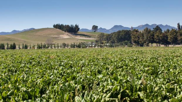 A fodder beet crop on Mendip Hills station, North Canterbury. Farmers are looking forward to their winter crops maturing ...