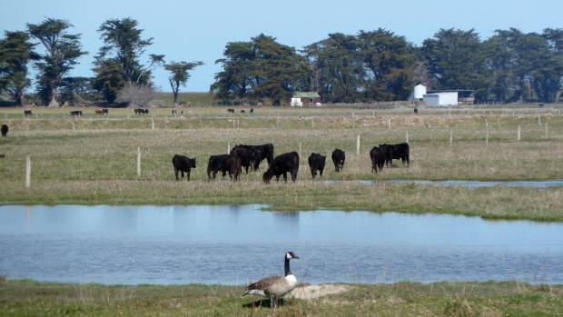 Cows and canadian geese graze near the edge of Lake Ellesmere.