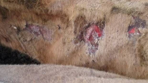 Facial eczema spore counts have risen.  This cow is showing extreme clinical facial eczema  impacts.  .