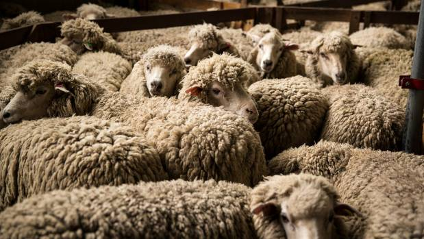 Stonyhurst runs 10,000 halfbred sheep and nearly 40 per cent of the farm's sheep income comes from wool.