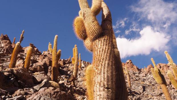Cactus Valley (Los Cardones Ravine) in the Atacama Desert.