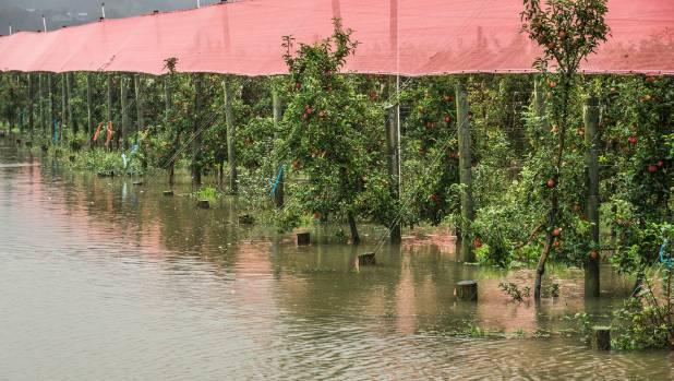 Surface flooding at an apple orchard near Riwaka, Tasman during recent heavy rains.