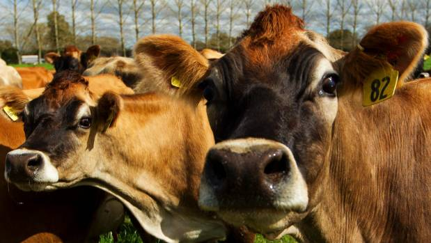 Good summer growing conditions have helped farmers find pasture for flood affected cows.
